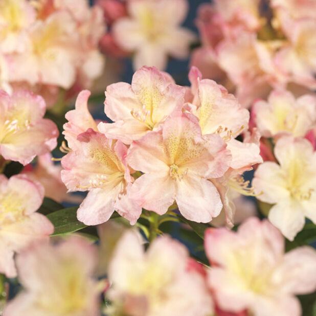 Yakushimanum-rododendron 'Percy Wiseman', Ø35 cm, Rosa