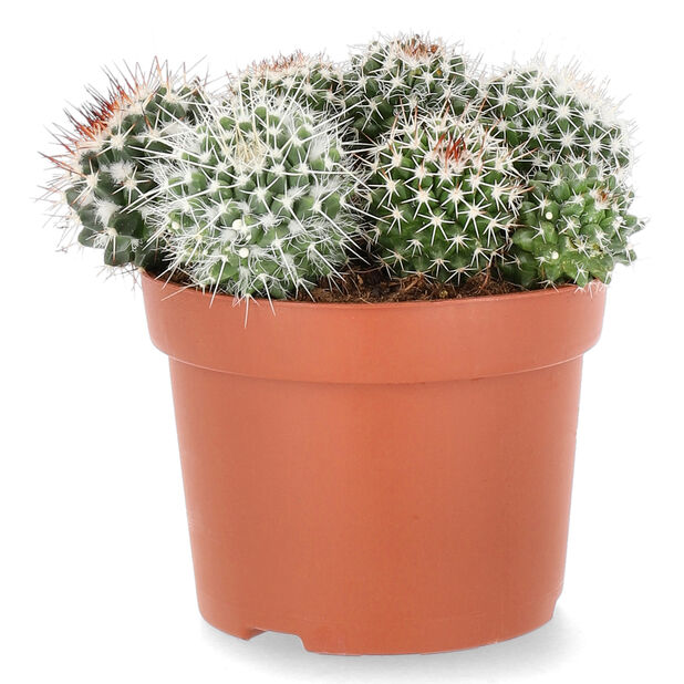 Kaktus rund, Höjd 20 cm, Grön