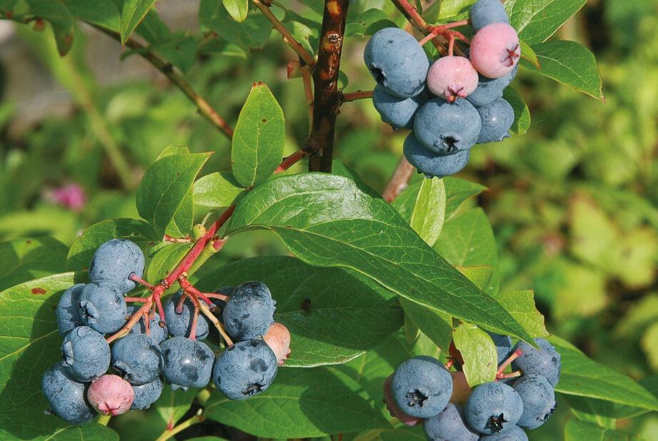 Amerikanskt blåbär 'Bluecrop', Ø17 cm, Blå