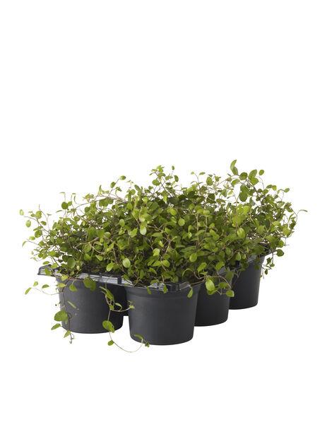 Plättar i luften, Höjd 10 cm, Grön