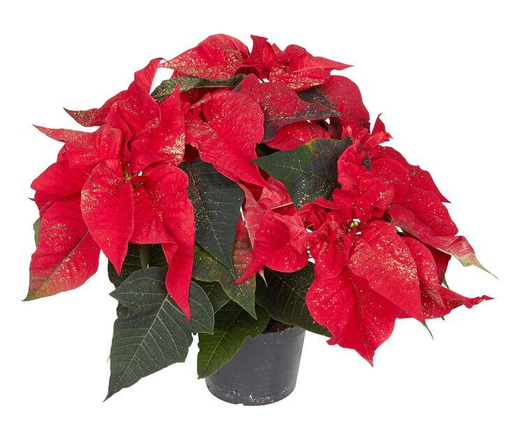 Julstjärna flergrenad glitter, Ø13 cm, Röd