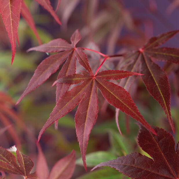 Japansk lönn 'Atropurpureum', Ø19 cm, Röd