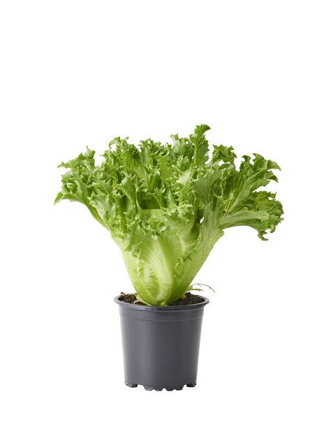 Sallat, Ø10.5 cm, Grön
