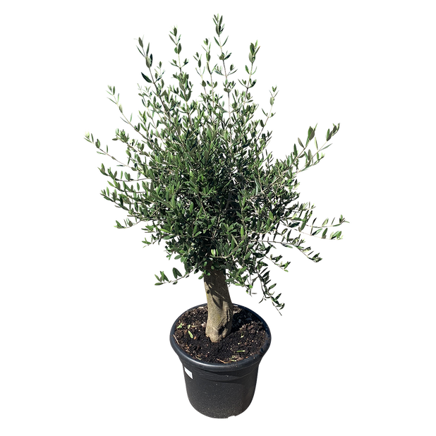 Olivträd, Ø35 cm, Grå