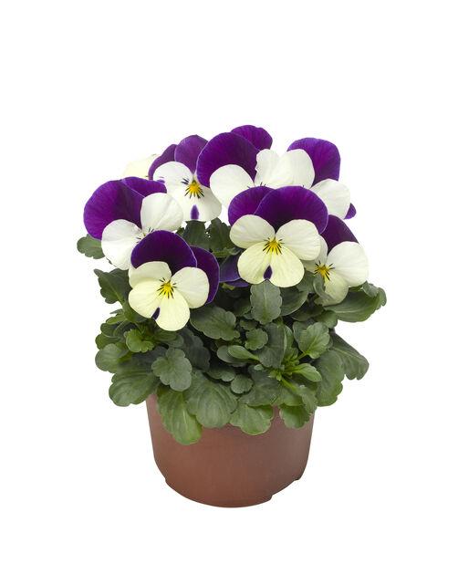 Viola small fl. Jump Up 12 cm