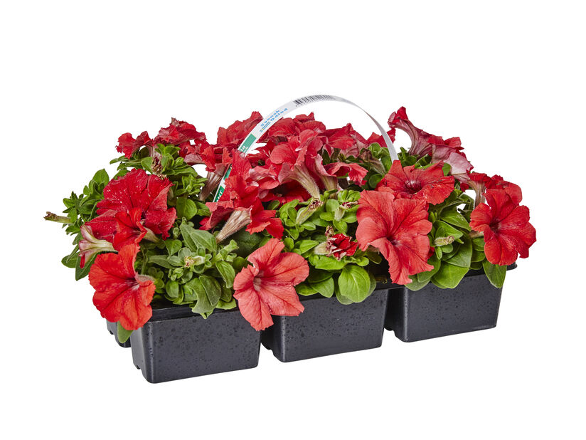 Petunia 6-pack röd