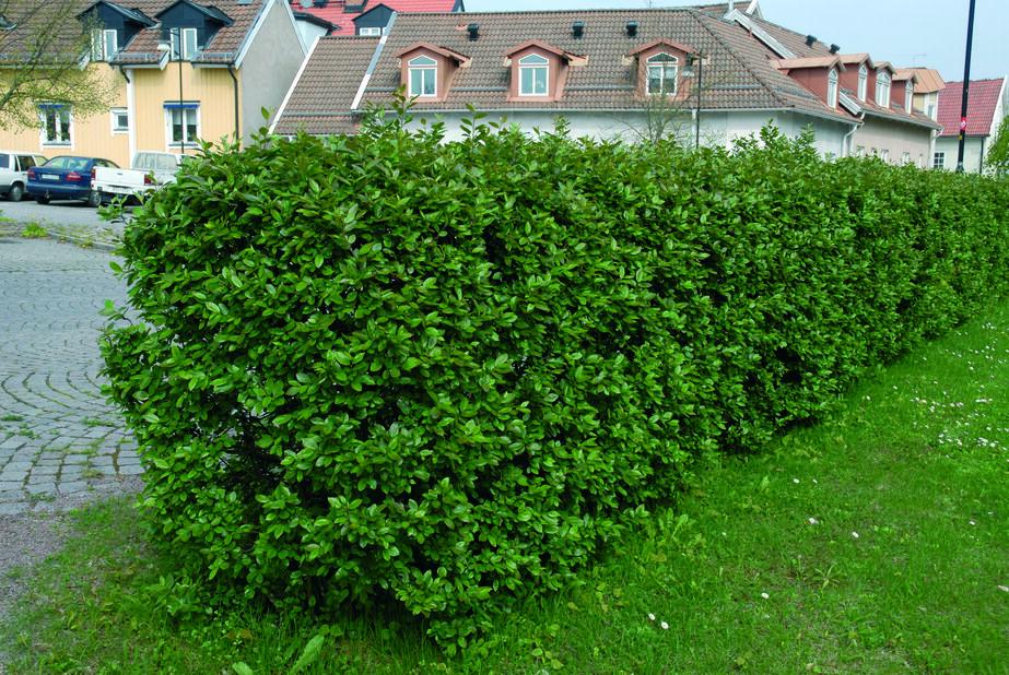 Häckoxbär, Höjd 40 cm, Grön