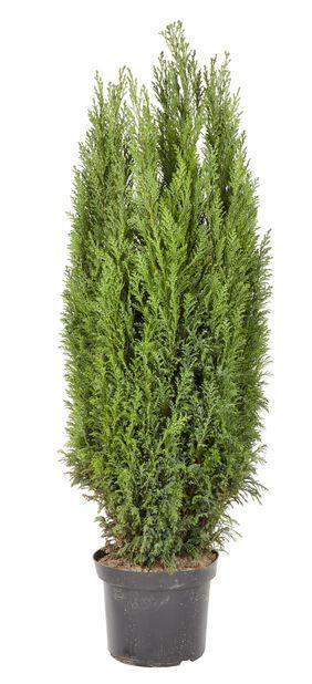 Ädelcypress 'Ellwoodii' , Höjd 100 cm, Blå