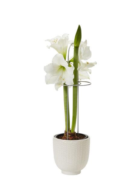 Amaryllis 2-stänglad, vit