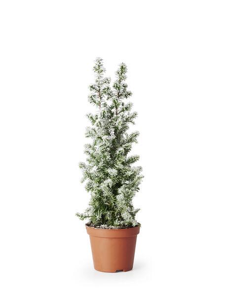 Tujacypress 'Top Point', Höjd 20 cm, Vit