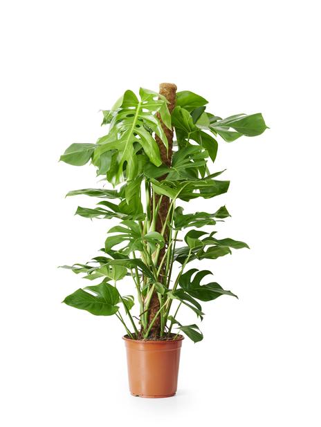 Monstera, Höjd 120 cm, Grön