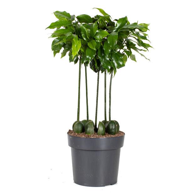 Bönträd, Höjd 50 cm, Grön