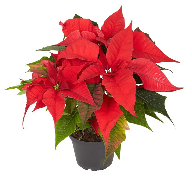 Julstjärna, flergrenad 15 cm, röd