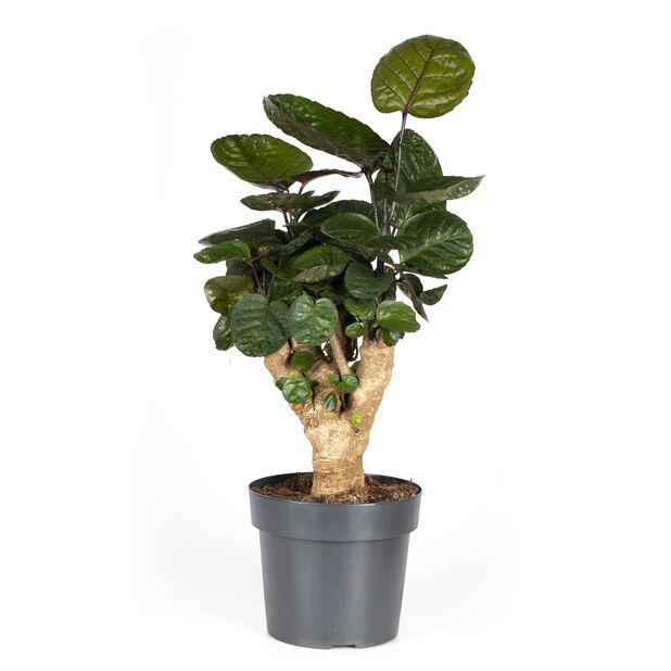 Nätaralia 'Fabian', Höjd 60 cm, Grön