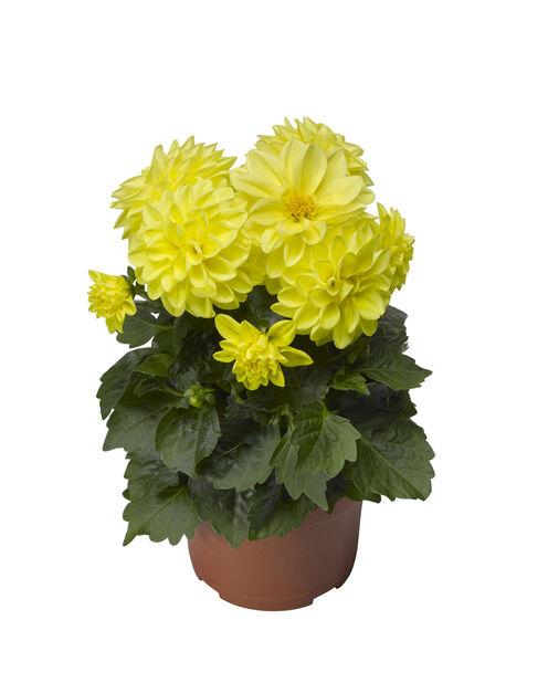 Dahlia, Ø12 cm, Gul