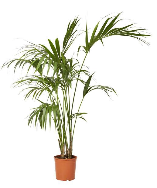 Förmakspalm, Höjd 140 cm, Grön