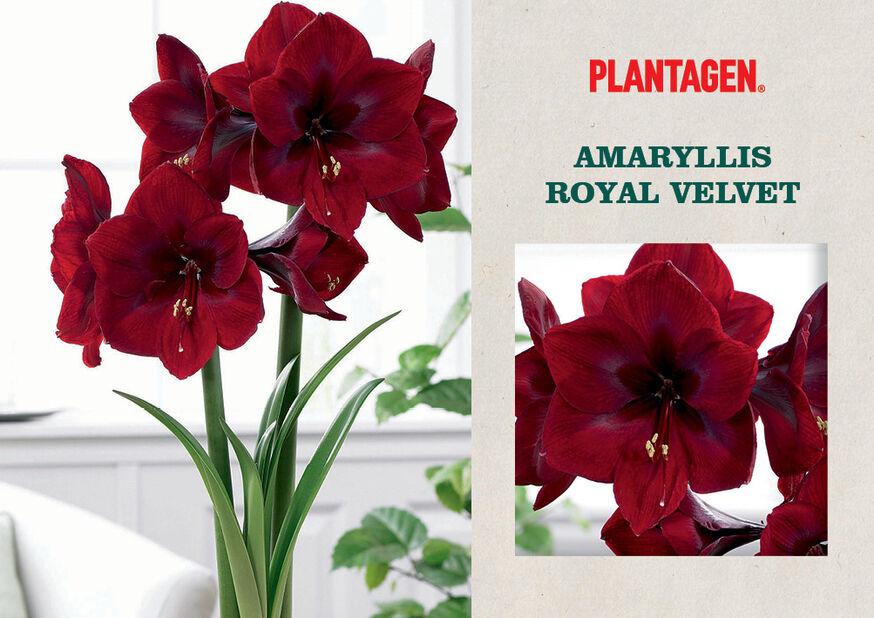 Amaryllis 'Royal Velvet', Flerfärgad