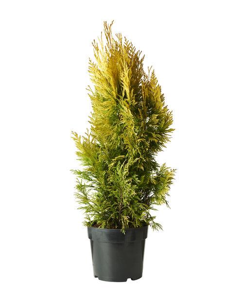 Jättetuja '4ever Goldy' , Höjd 70 cm, Grön