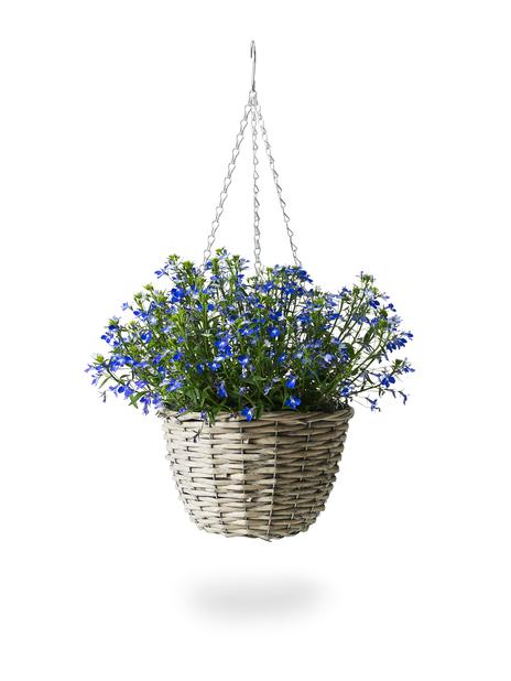 Lobelia i ampel, Ø22 cm, Blå