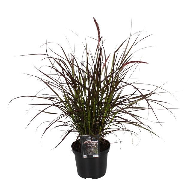 Prydnadsgräs, Ø19 cm, Brun