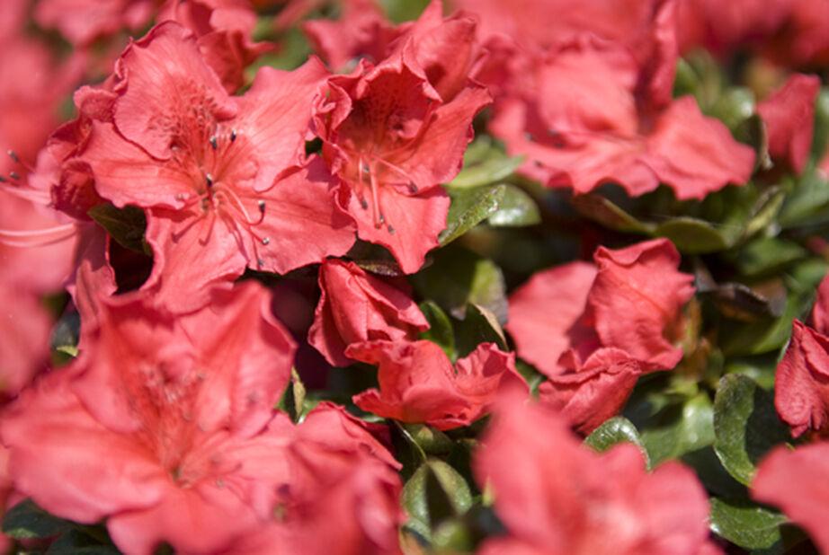 Azalea 'Orange Beauty' 5 L