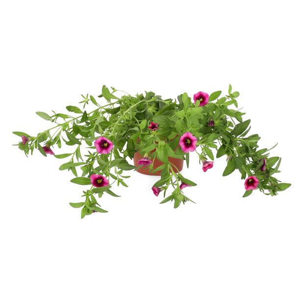Småpetunia 'Strawberry Punch', Ø12 cm, Flerfärgad