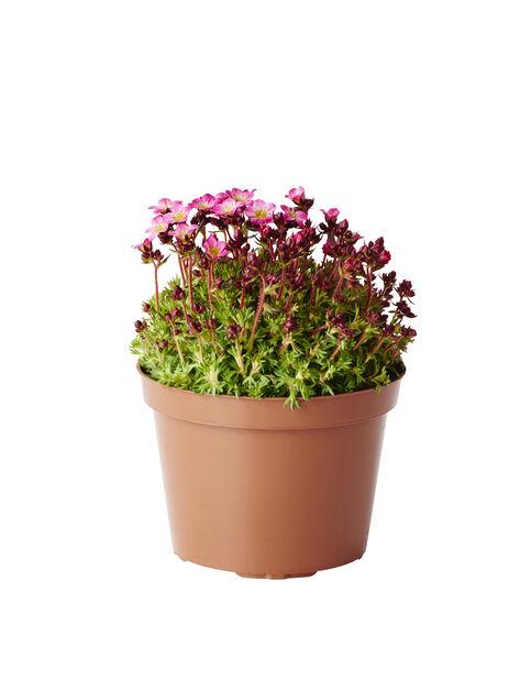 Rosenbräcka mix, Ø12 cm, Flerfärgad