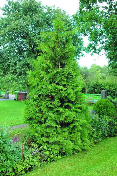 Häcktuja 'Brabant', Höjd 140-160 cm, Grön