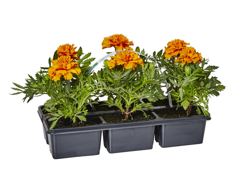 Tagetes, 6-pack, Orange