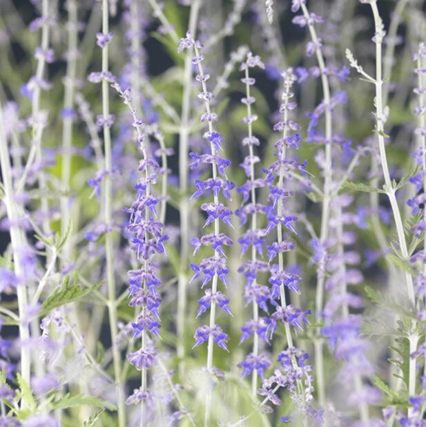 Afghanperovskia 'Blue Spire', Ø17 cm, Blå