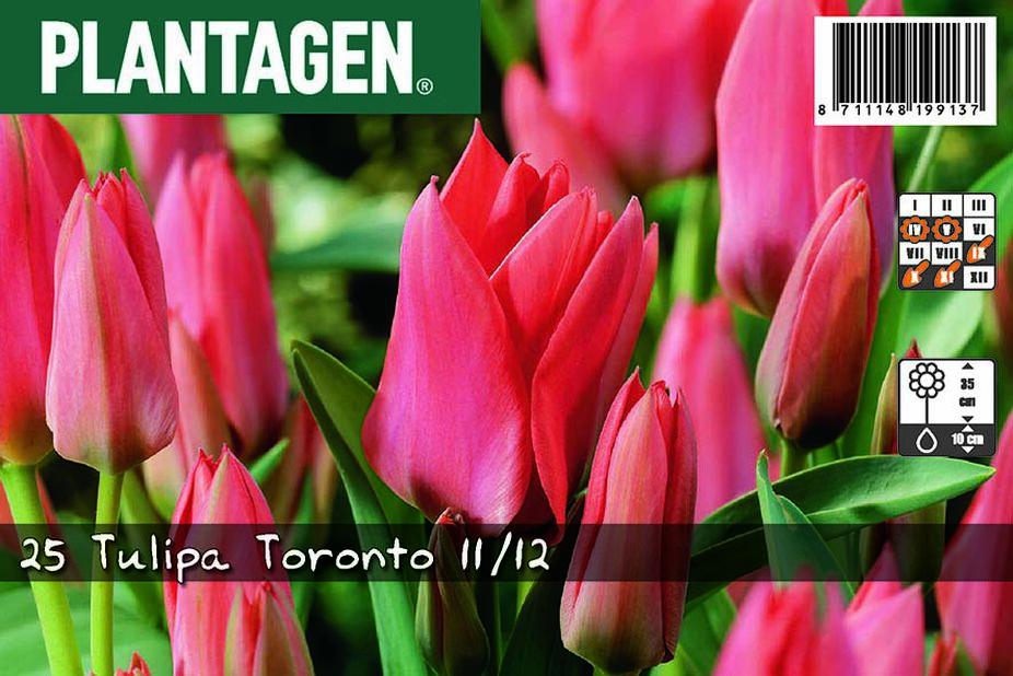 Tulpan 'Toronto'