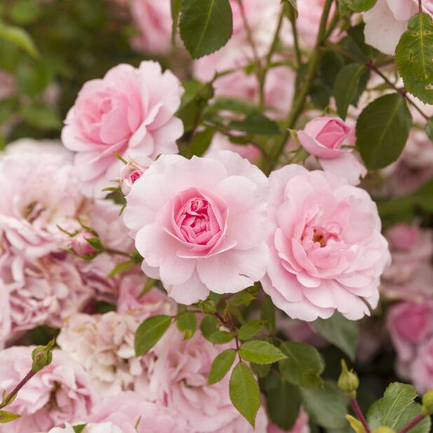 Rosa ros på stam, Höjd 60-80 cm, Rosa