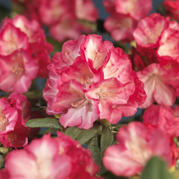Yakushimanum-rododendron 'Fantastica', Ø21 cm, Rosa
