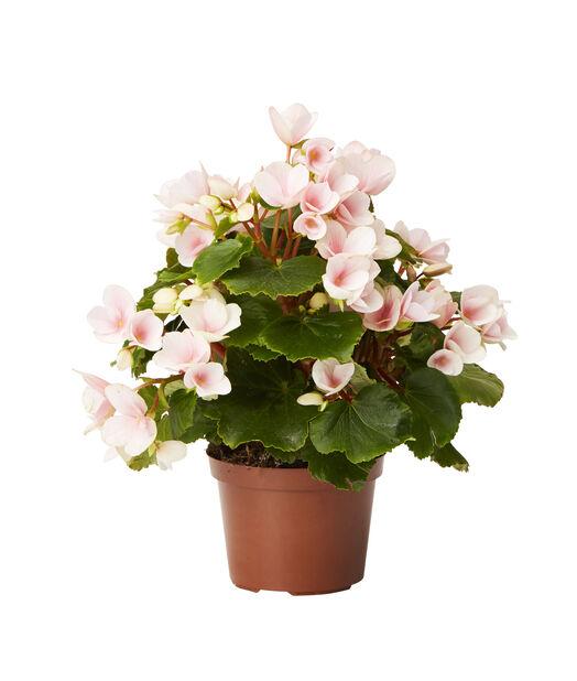 Begonia rosa