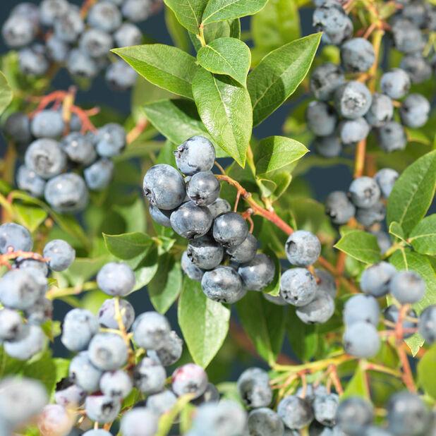 Amerikanskt blåbär 'Bluecrop', Ø22 cm, Blå