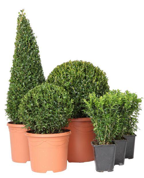 Trädbuxbom 'Arborescens', boll, Ø29 cm, Grön