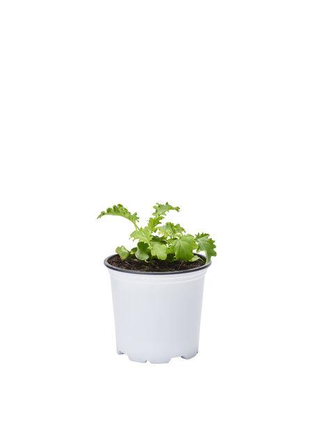 Grönkål KRAV, Ø10.5 cm, Grön