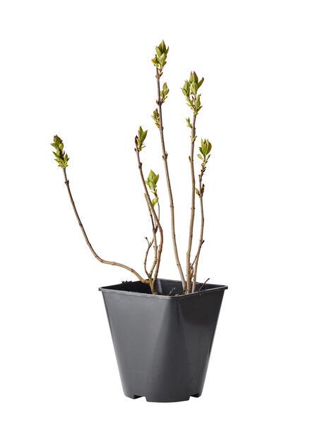 Syren, Ø22 cm, Rosa