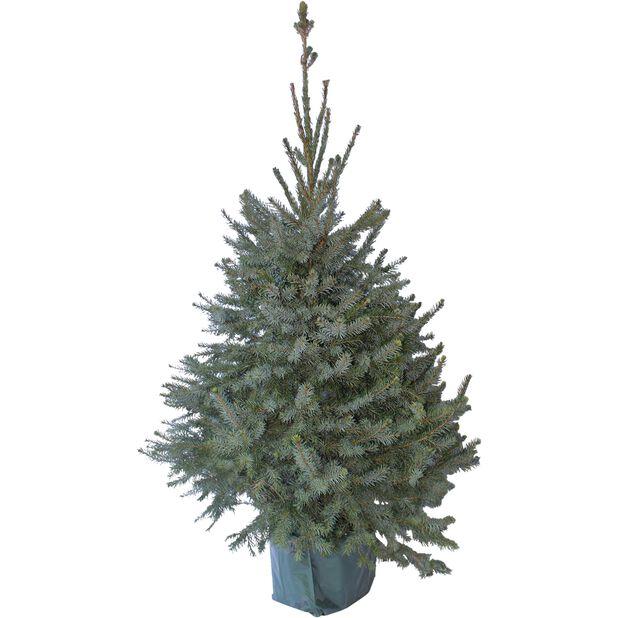 Serbgran, Höjd 80 cm, Grön