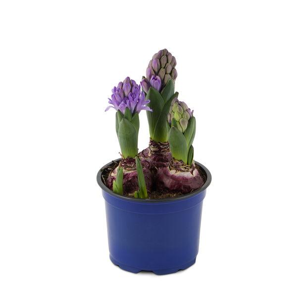Hyacint, Blå