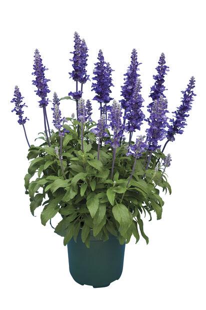 Salvia, Ø19 cm, Blå