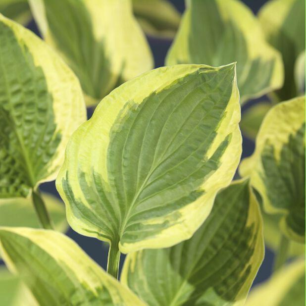 Funkia, gulbladig, Höjd 35 cm, Gul