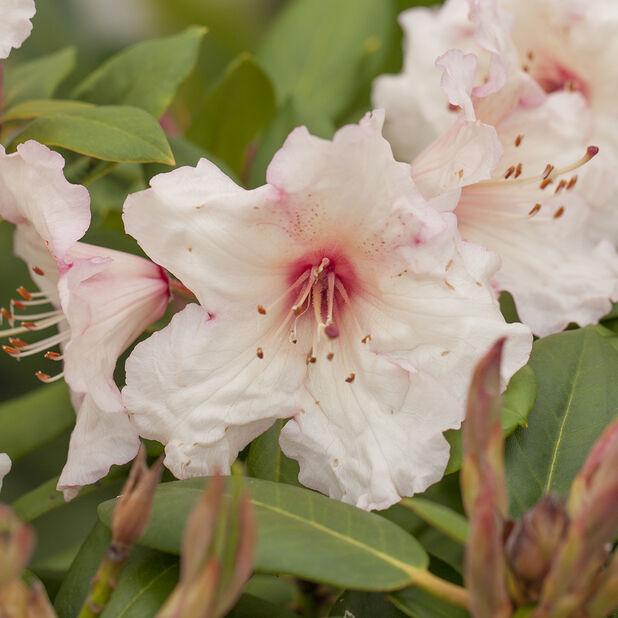 Wardii-rododendron 'Virginia Richards', Ø19 cm, Terrakotta