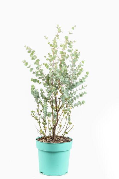 Silvereukalyptus 'Azura', Ø23 cm, Grå