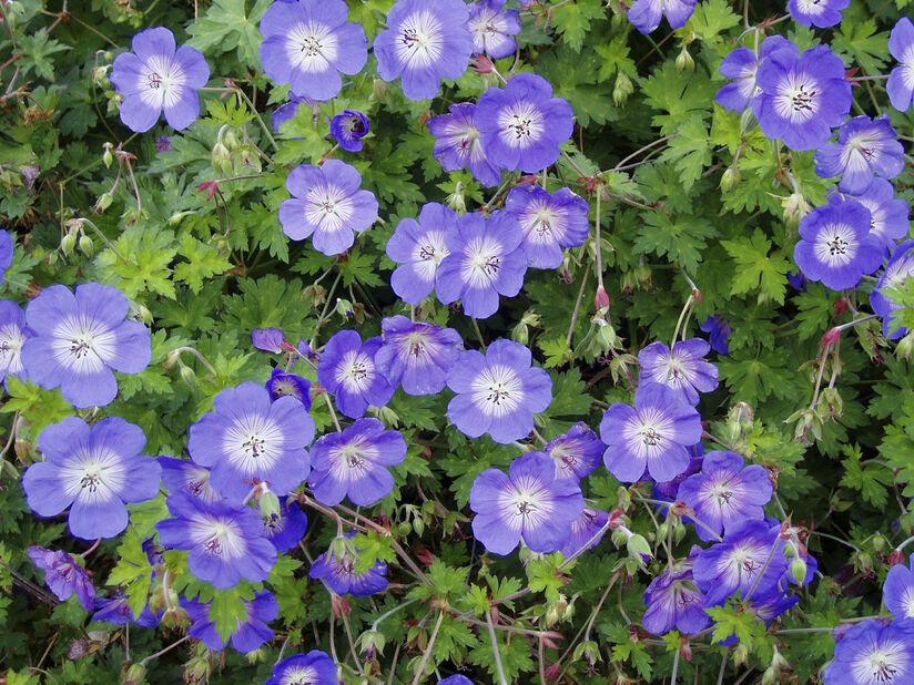 Trädgårdsnäva 'Rozanne', Ø11 cm, Rosa