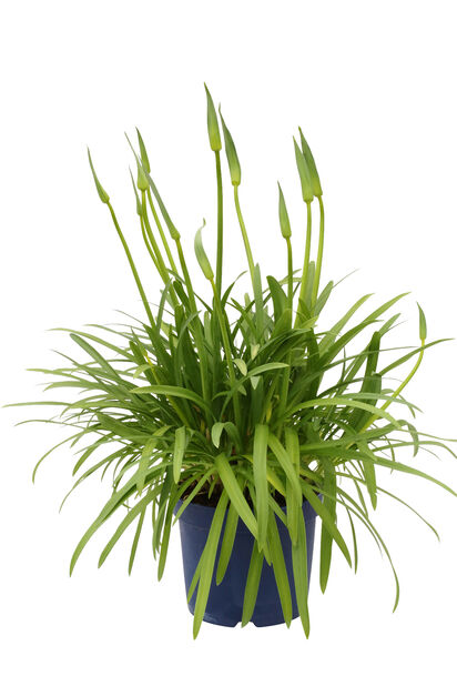 Afrikas blå lilja 'Amourette Blue', Ø23 cm, Blå