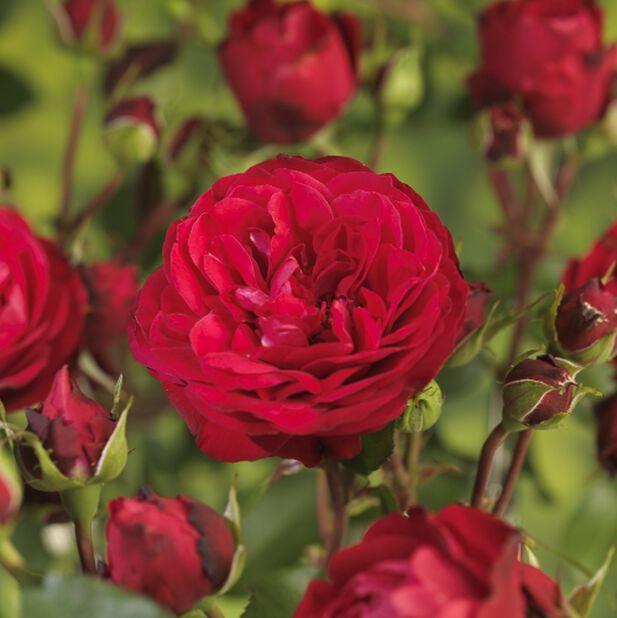 Terrass-ros 'Meilove röd' på stam, Höjd 70-90 cm, Röd