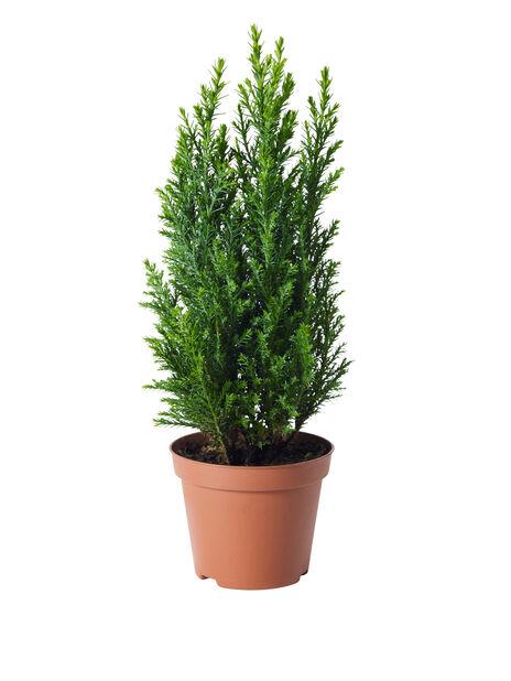 Ädelcypress 'Ellwoodii' 9 cm