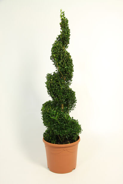 Trädbuxbom 'Arborescens' spiral, Ø23 cm, Grön