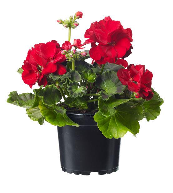 Pelargon Calliope 'Red', Ø12 cm, Röd